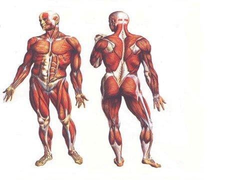 Spieren van het lichaam