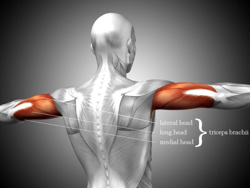 triceps anatomie