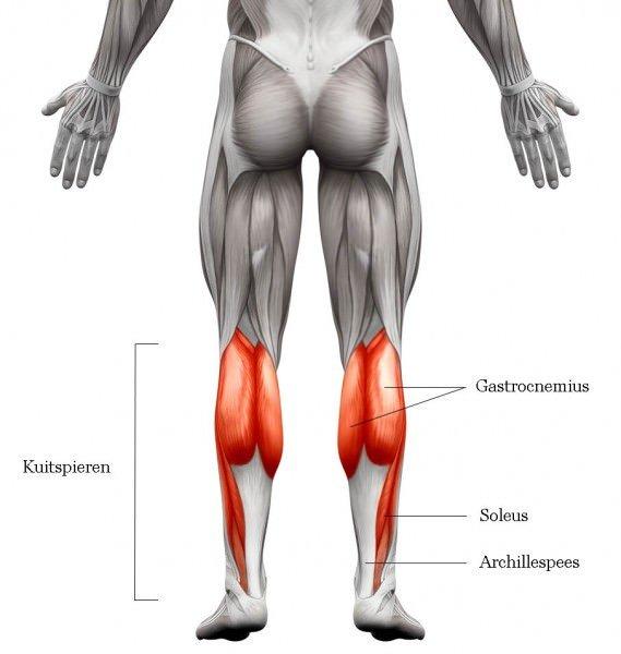 Kuitspieren anatomie
